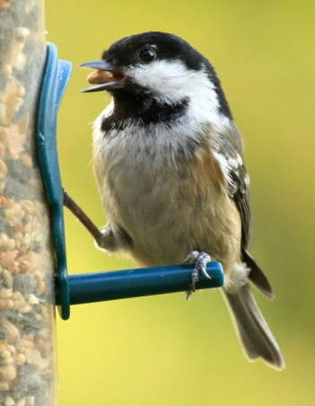 Tis Coal Tit is gathering a seed and will fly off to a sheltered spot to eat it.