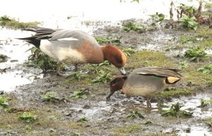 A male Wigeon and Teal feeding in the mud