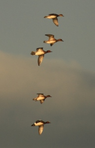 A few of the Wigeon flushed from their feeding