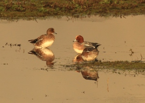 Wigeon resting in the late afternoon light