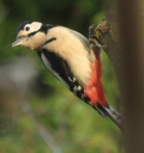 Male Great Spotted Woodpecker (red neck-patch not showing