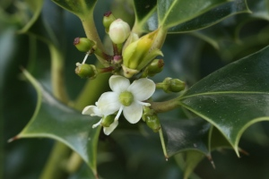 The small, delicate Holly Flowers