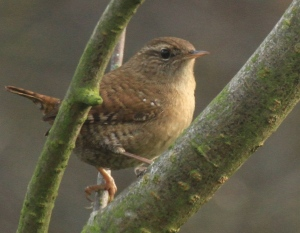 Wren on a quick stop-off