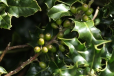 Young Holly berries, still green, on native Holly