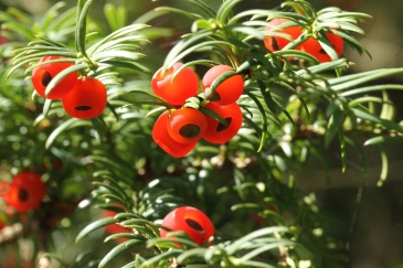 The Yew 'arils' showing the fleshy red shell holding the dark, highly poisonous seed.