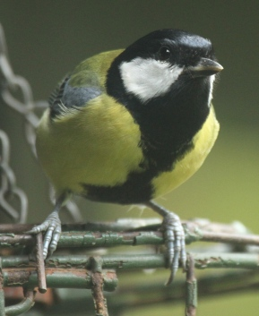 Great Tits have their smart winter coats now, too- males have a wider stripe of black than females.