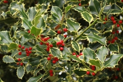One of the variegated garden varieties of Holly