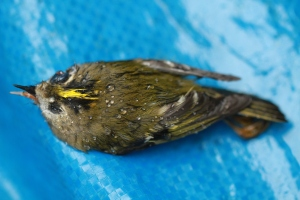 Close-up of the Goldcrest I found dead yesterday