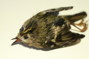 I think the Goldcrest died from disease