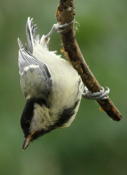 Great Tits visit gardens throughout the year, like tis acrobatic young bird.