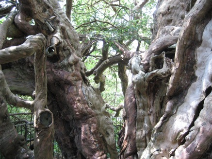 Part of the trunk of the ancient Crowhurst Oak