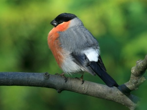 Male Bullfinches are among the most colourful visitors at any time of the year.