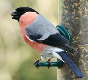 Male Bullfinches feed easily from hanging feeders