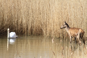 A Red Deer and Swan stand-off at Minsmere in Spring