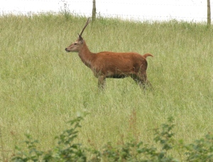 Young Red Deer male at Leighton Moss