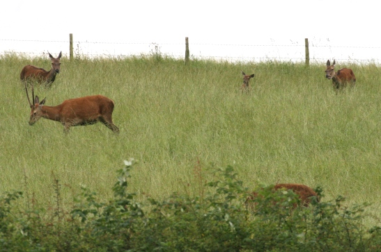 A family group of Red Deer, seen at Leighton Moss at dusk in August