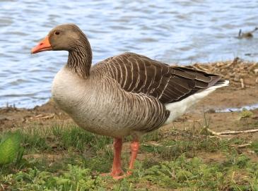 A Grey Lag Goose