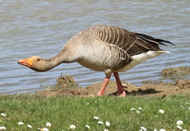 A Grey Lag Goose in typical, aggressive teritorial mode, hissing and threatening another adult goose.