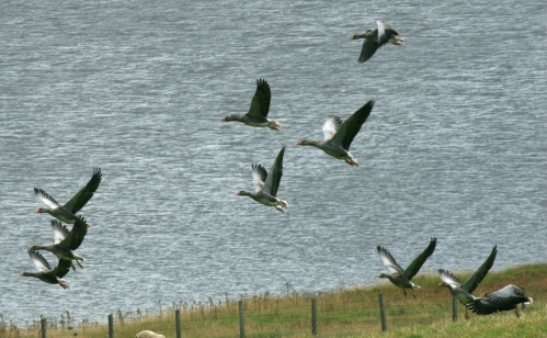 Typically, a small flock of Grey Lag Geese take off from feeding on grass.
