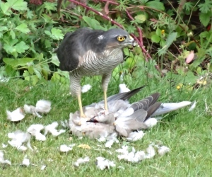 Once it had lightened the Dove's weight enough, it carried it off to a more private place to feed
