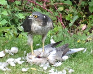A male Sparrowhawk plucking a Collared Dove in the garden last year