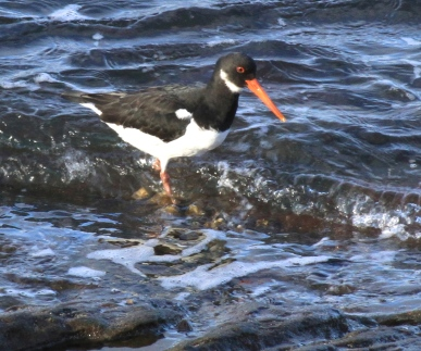 The wonderful Oyster Catcher, beginning to breed inland more.