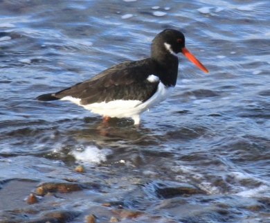 An Oystercatcher wading through the shallows, looking for food