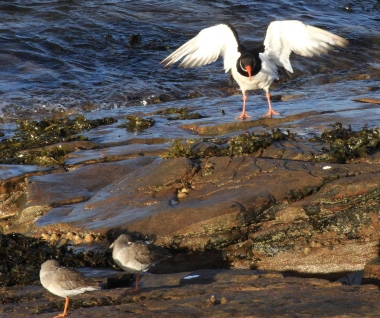 This Oystercatcher lands, showing its hit underwings