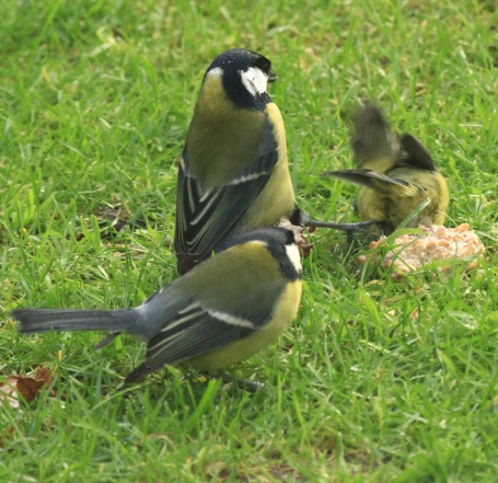 The Blue Tit rolls on its back, while he Great Tit lashes out with both feet