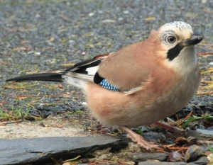 A Jay ventures cautiously nearer, looking for food.