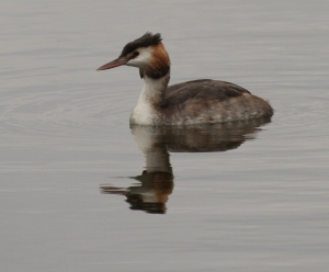 Great Crested Grebe in winter