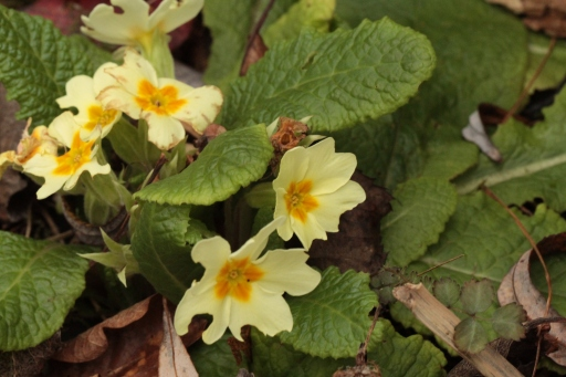Unseasonably early tot of Primroses, well-chewed by birds.