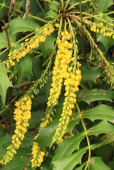 The Mahonia and Winter Honeysuckle have been out a while- both provide nectar and pollen for insects and birds and the Mahonia berries are enjoyed by the Thrush family