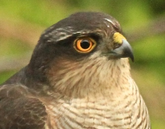 Her brilliant amber eye and the yellow patch on her beak.