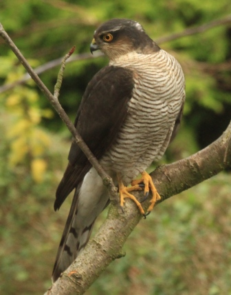 Female Sparrowhawk- fantastic claws with which she catches her prey