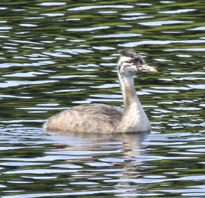 Young Great Crested Grebe