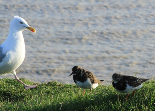 A Herring Gull stalks up to the Turnstones
