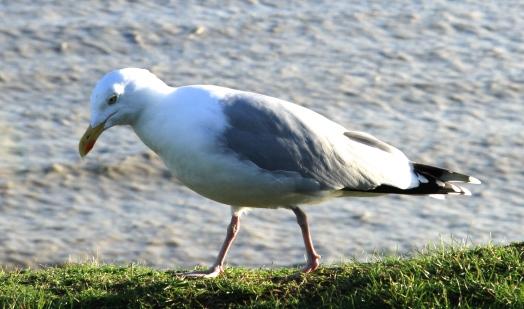 The big bird scares the Turnstones off