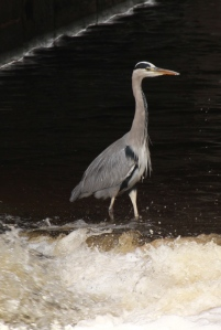 Heron on the River Don, under Lady's Bridge