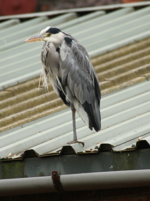 Heron resting on a factory roof in the centre of Sheffield