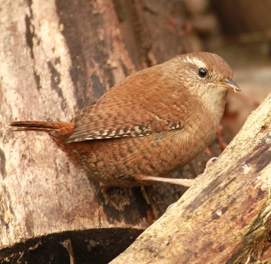 It is thought Wrens may have been associated with bad spirits because of their habits of creeping about in crevices and disappearing into the undergrowth.