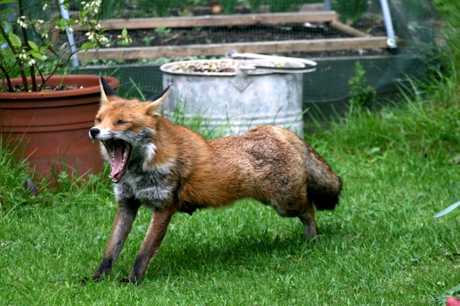 This city fox had been sleeping in the sun in our garden a while ago