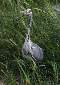 Heron, neck extended, patiently waiting.
