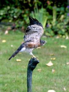 Sparrow hawk preparing for lift-off