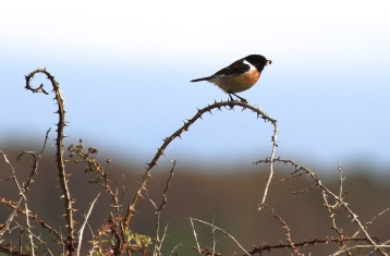 Typical Stonechat behaviour and here, a male in summer plumage