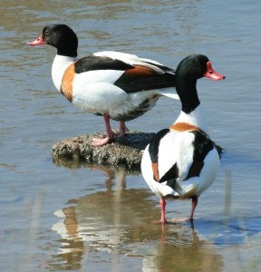 Shelduck showing their whit and bottle-green plumage with the easily identifiable tan collar.