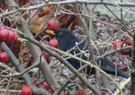 Blackbird eating the bletted Crab Apples later in the day
