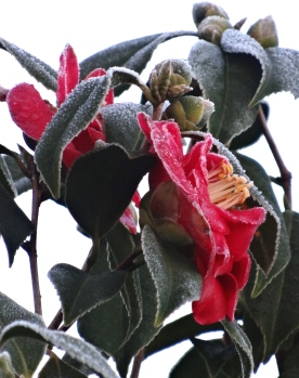 The Camellias caught the heavy frost this morning