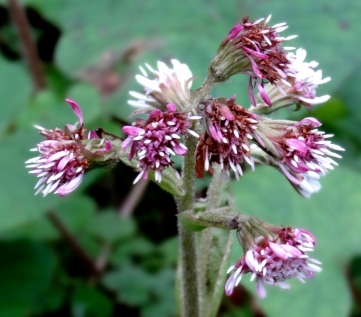 Winter Heliotrope is a great source of early pollen