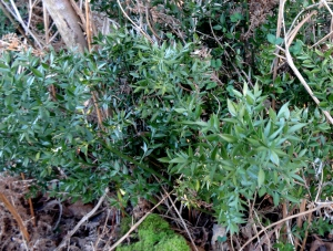 A typical, deceptively dull-looking bush of Butchers Broom